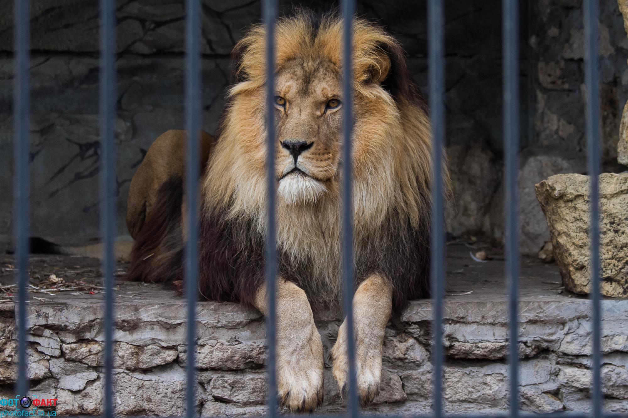 На Самборщине лев одному мужчине исполосовал руку, а второму ногу