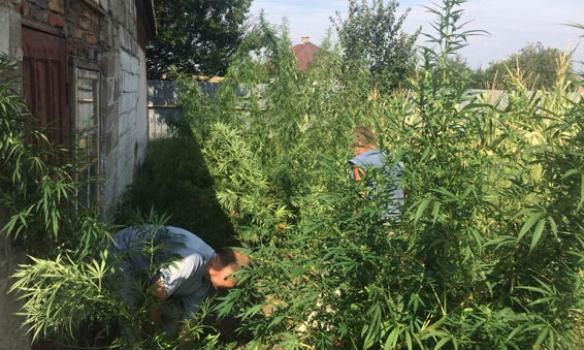 В Волновахе полиция разоблачила мужчину, который выращивал коноплю: Стоимость «урожая» оценили в 300 тыс. грн
