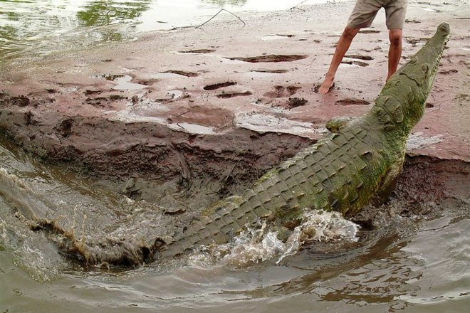 В Австралии в школу подбросили крокодилов