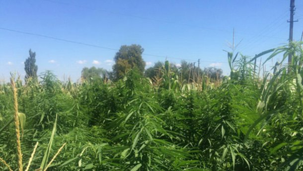 На Буковине нашли огромную плантацию конопли