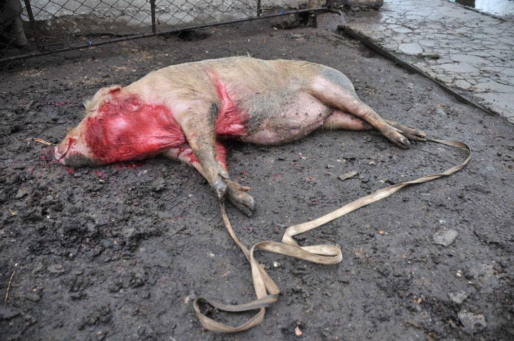 На Ровенщине у селян изымают свиней (ВИДЕО)