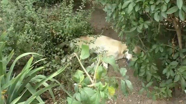 Самопровозглашенные власти Крыму массово убивают бездомных собак