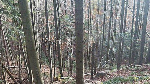 Кто «случайно» вырубил на Закарпатье лесов на 1 миллион гривен