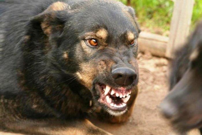 Ужас продолжается: собаки, которые под Киевом загрызли ветерана АТО, нападают на детей (ВИДЕО)