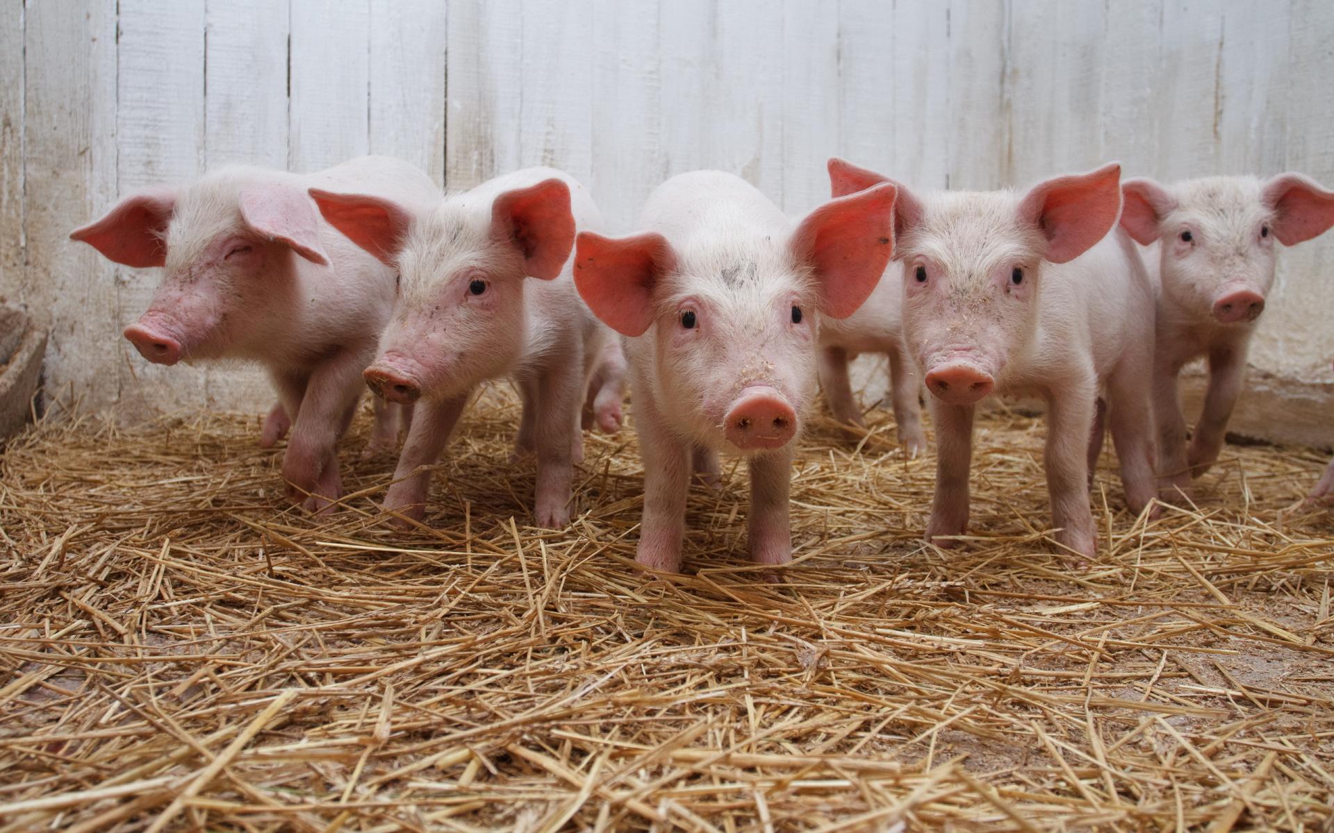 В ЛНР оккупанты отобрали у фермера почти полтысячи свиней