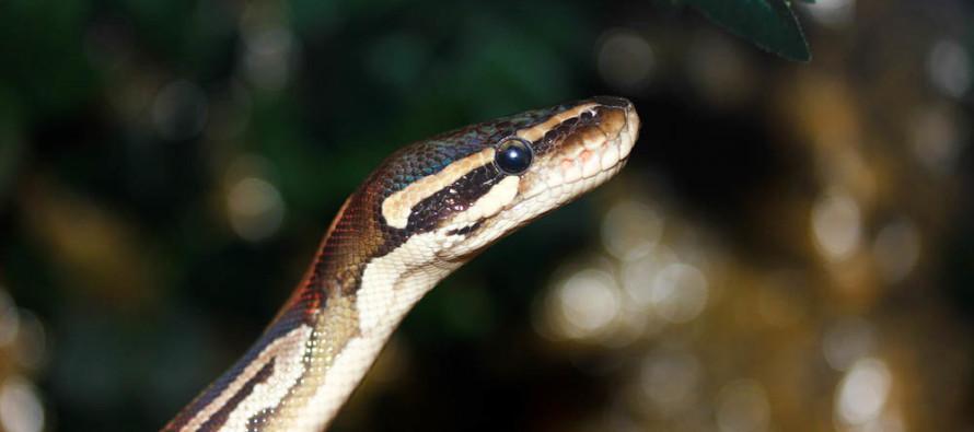 В Индии девушка-змея сбрасывает кожу каждые полтора месяца (ФОТО)