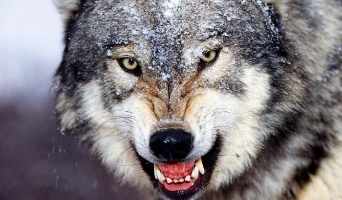 После такого не выживает никто: бешеный волк жестоко покалечил мужчину. Целого ничего не осталось