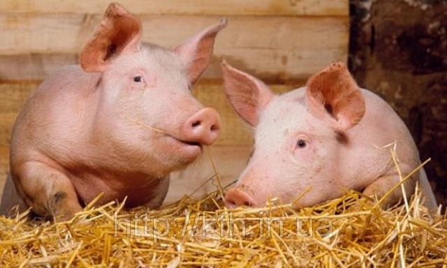 Свинина как роскошь: украинцы массово отказываются от свинного мяса из-за катастрофического повышения цены
