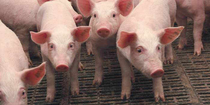 В Чутовском районе чума снова «косит» свиней
