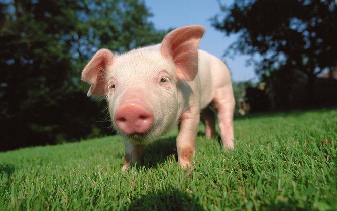 Будьте внимательны! В Украине зафиксирована вспышка эпидемии свиной чумы