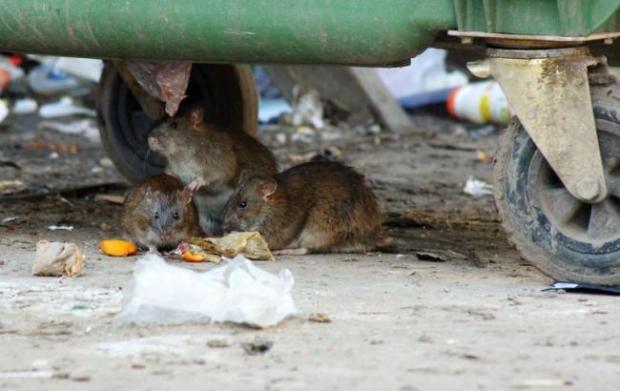 ШОК!!! Во Львове неожиданно на женщину набросилась крыса, которая выскочила с мусорника