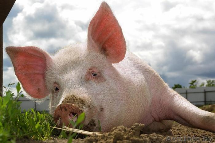 Чума свиней: в Полтавской и Черкасской областях зафиксированы новые вспышки