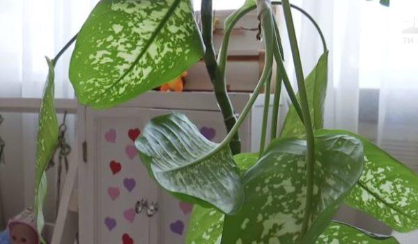 «От этого комнатного растения …»: Ребенок оказался в реанимации из-за отравления