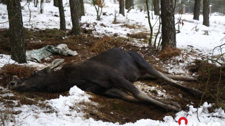 На Львовщине убили животное, занесенное в Красную книгу