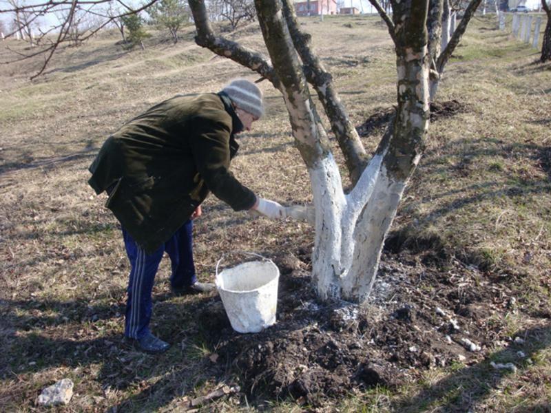 Штраф до 1700 гривен: В Украине запретили белить деревья и бордюры