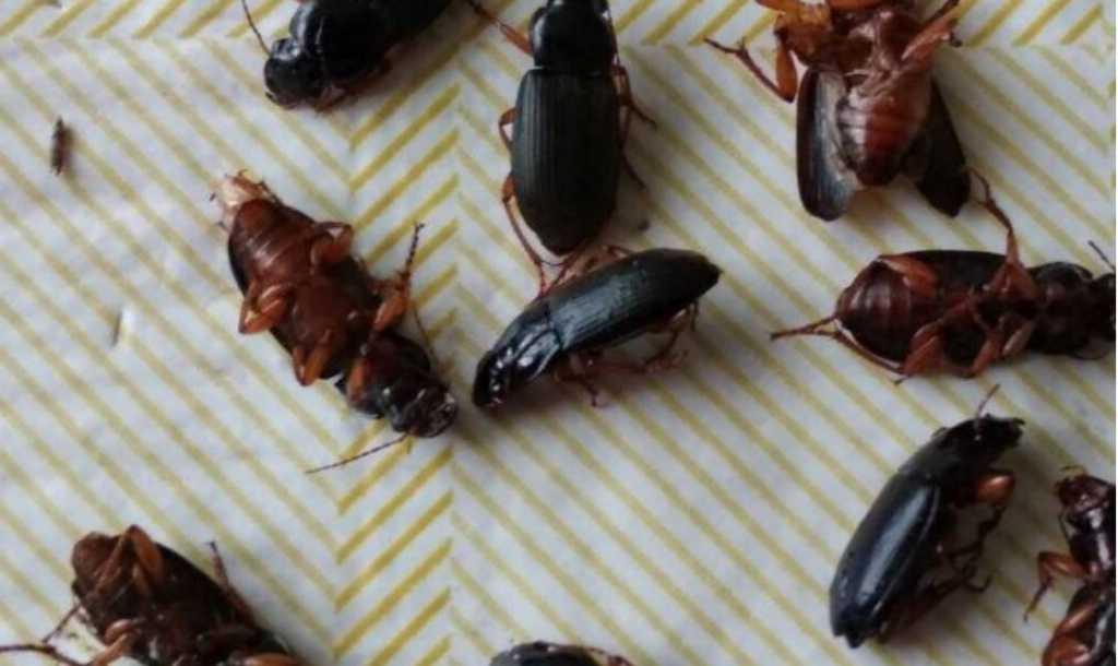 «Во дворе, и в доме, и вокруг их очень много»: Жители поселка в Хмельницкой области бьют тревогу из-за нашествия неизвестных жуков