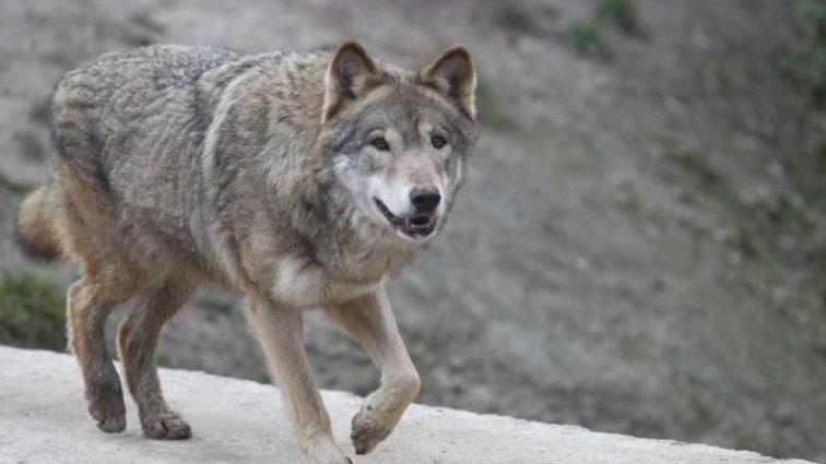 Хотел растерзать: в Тернопольской области на местную жительницу напал волк